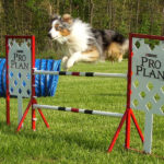 Dog at Agility Training Course