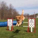 Golden Retriever Outdoor Agility Training