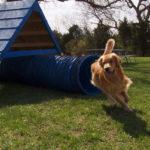 Golden Retriever Running Outdoor Agility Course