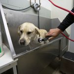 Labrador Bath
