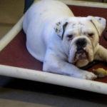 Bulldog Obedience Training