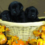 Black Labrador Retriever Puppies