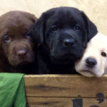 Labrador Retriever Litter