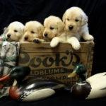 Lab Puppy Litter