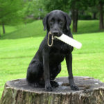 Retriever at Hunting Dog Class