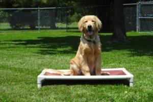 Golden Retriever at Obedience Class