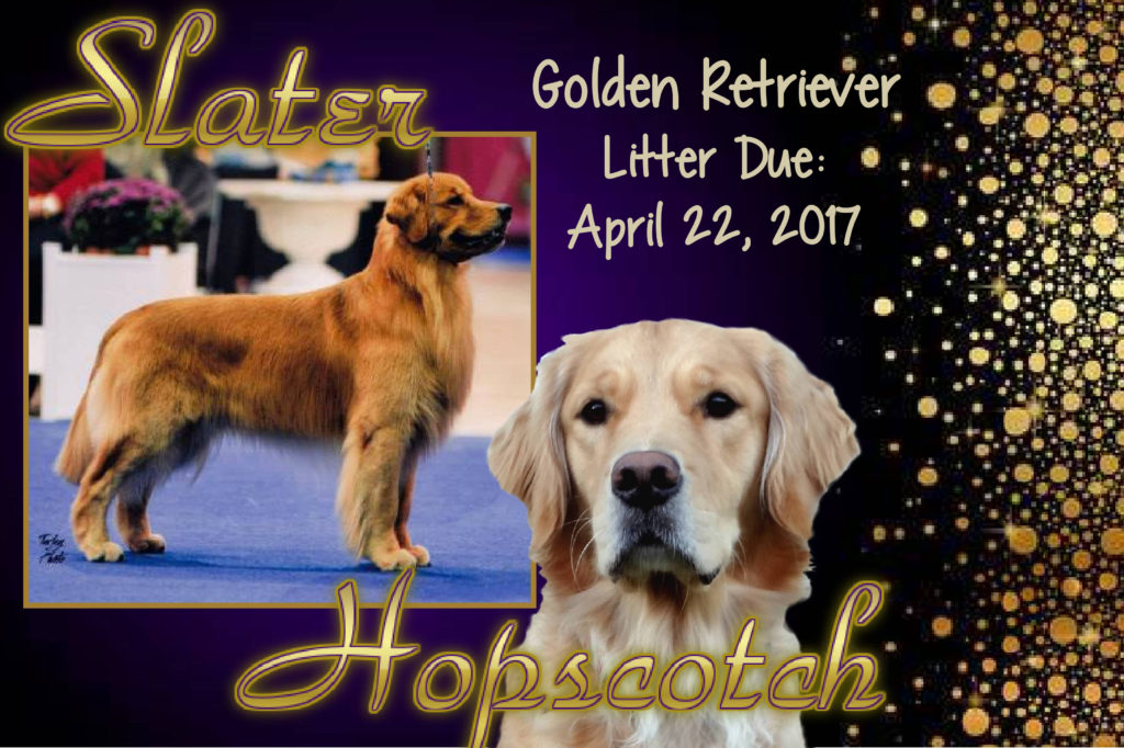 Golden retriever breeders st louis